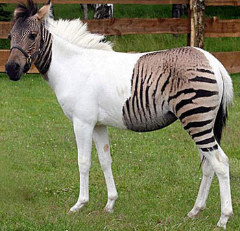 zebra-horse-hybrid-scaled