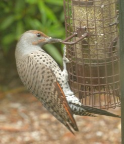 Northern Flicker sneaking snack -- this guy is as big as a woodpecker.