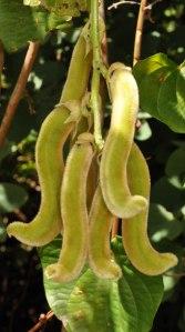 mucuna pruriens beans